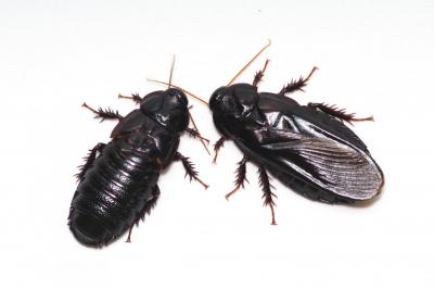 Yeni çiftleşen hamamböcekleri eşlerinin kanatlarını yiyor