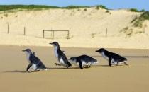 Yeni Zelanda'da penguenlere alt geçit yapılıyor