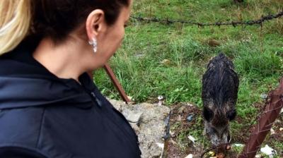 Yılbaşında bahçeye giren domuz bir daha gitmedi